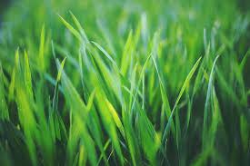 trapia sokiem z trawy1